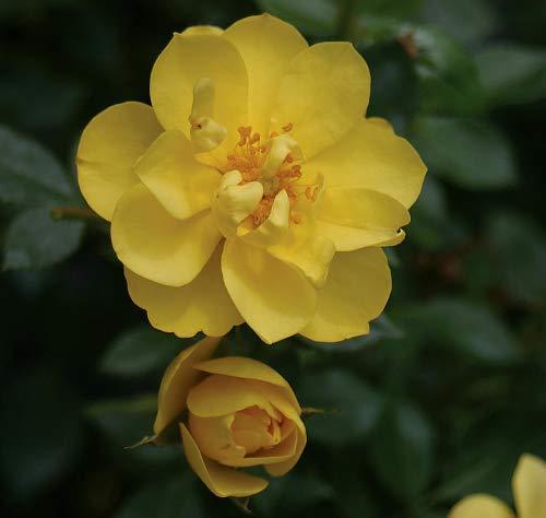 OSO EASY® Lemon Zest Rose -Disease Resistant/Fragrant/Rebloomer-Proven Winners