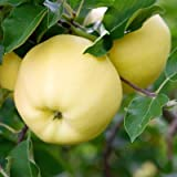 Dwarf Yellow Delicious Apple Trees