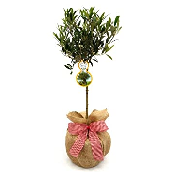 MINI OLIVE TREE-Superb Gift,Plant & Flower Gift For Mothers Day ...