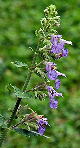5 Starter Potted Plants of Nepeta cataria [Catnip]