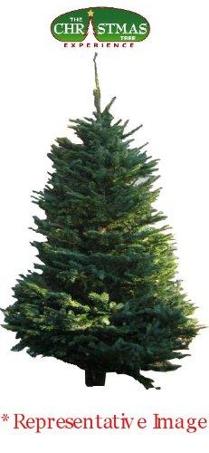 6'-7' Fresh Cut Noble Fir Tree