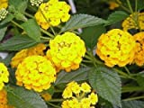 Classy Groundcovers, Lantana 'New Gold' 'Ham and Eggs' (25 Pots, 3 1/2 inches Square)