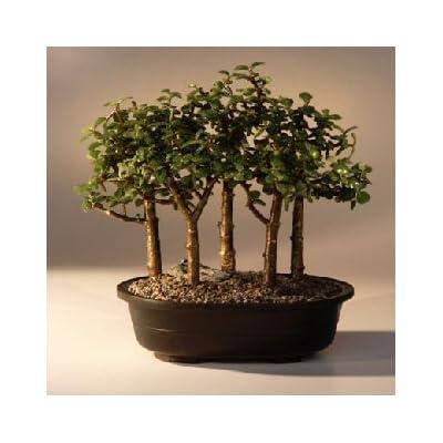 Bonsai Boy's Baby Jade Bonsai Tree Five Tree Forest Group Portulacaria Afra: Garden & Outdoor