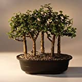 Bonsai Boy's Baby Jade Bonsai Tree Five Tree Forest Group Portulacaria Afra