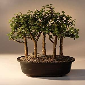 Bonsai Boy's Baby Jade Bonsai Tree Five Tree Forest Group(Portulacaria Afra)