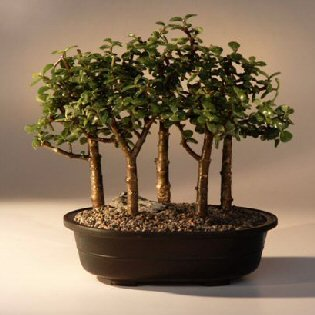 Amazon Com Bonsai Boy S Baby Jade Bonsai Tree Five Tree Forest Group Portulacaria Afra Bonsai Plants Grocery Gourmet Food