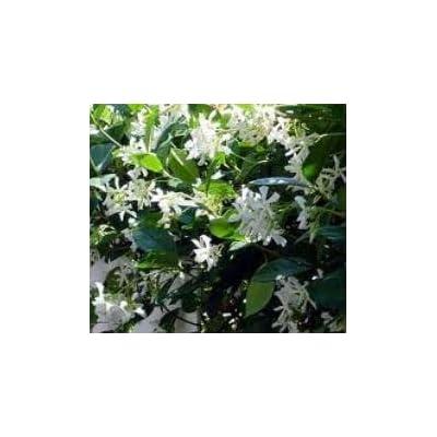 Indoorbonsaiandexotic Cofederate Jasmine Vine : Garden & Outdoor [5Bkhe0806359]