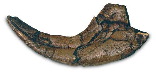 Utahraptor Claw (Utahraptor Claw)