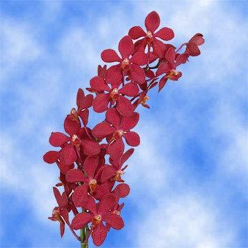 GlobalRose 90 Red Ruby Mokara Orchid - Red Fresh Flowers For Birthdays, Weddings or Anniversary