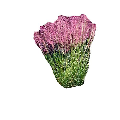 Pink Muhly Grass ( muhlenbergia ) - Live Plant - Trade Gallon Pot