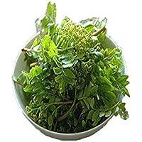 滋賀県他 木の芽 山椒の若芽 送料別