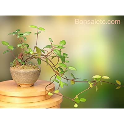 A Flowering Bonsai Tree for Indoor Apartment, Home and Office : Bonsai Plants : Grocery & Gourmet Food