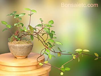 Amazoncom A Flowering Bonsai Tree for Indoor Apartment Home