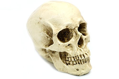 DESERT FOX Skeleton Skull Realistic Life Size Human Anatomy Resin replica Halloween - Skull Resin