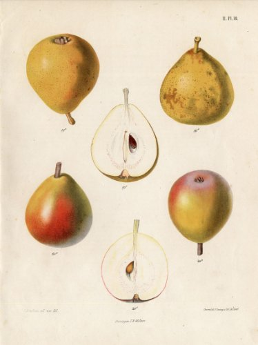 (Antique Print-PEAR-CRASANE ALTHORP-SECKEL-Berghuis-1868)