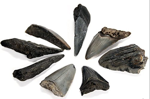 - Fossil Megalodon Shark Tooth specimens (one Pound).Over 2 Million Years Old, These Fossils Excite Young and Old Earth Science Enthusiasts as They Literally Hold History in Their Hands.