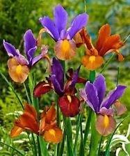 25 Dutch Iris bulbs, Bronze Blend, Rich, bronze colored Irises !