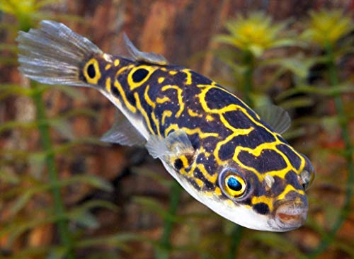 (7 Figure Eight Puffer Freshwater SM/MD Fresh Live Fish )