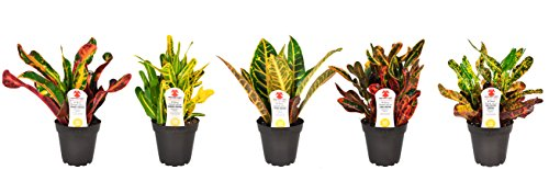 Costa Farms Exotic Angel Croton Live Indoor Plant, Grower's Choice Assortment, 4-Pack by Costa Farms (Image #1)