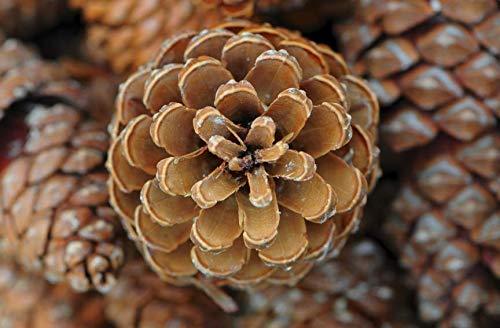 (8 Ponderosa Decorative Pine Cones 3-5 Unscented Fall Winter Holiday Home Decor Vase Bowl Filler Crafts)
