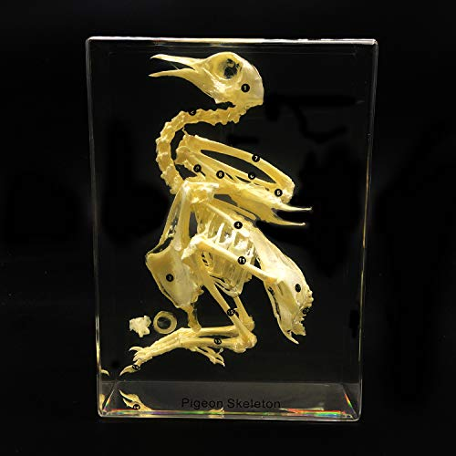 Taxidermy Real Pigeon Bird Skeleton Specimens in Acrylic Block Paperweights Science Classroom Specimen for Science Education ()