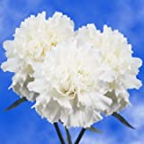 GlobalRose 200 Fresh Cut White Carnations - Fresh Flowers Wholesale Express Delivery