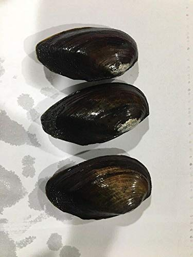 Fresh Fish Mussel - Details About Live Freshwater Clams & Mussel for Pond/Aquarium bio Filter Algae clarify Water