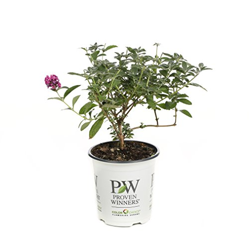 Miss Molly Butterfly Bush (Buddleia) Live Shrub, Deep Pink Flowers, 4.5 in. Quart by Proven Winners
