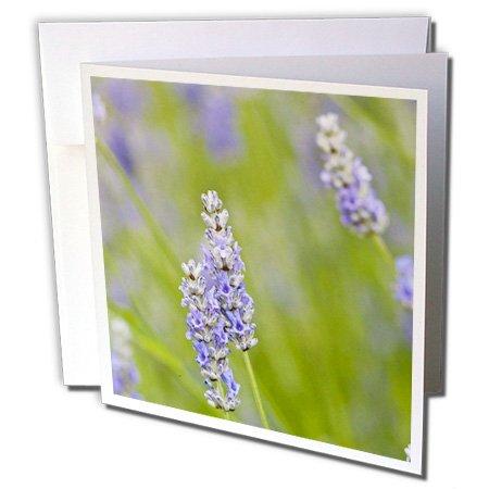Danita Delimont - Flowers - USA, Washington, Lavender flower - US48 TDR0963 - Trish Drury - 12 Greeting Cards with envelopes (gc_148681_2)