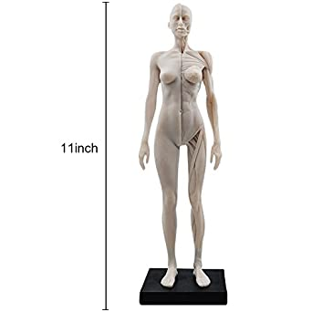 11 inch Female Human Muscle and Skeleton Anatomy Model for Artists ...