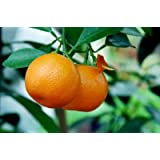 Brighter Blooms Nules Clementine Dwarf Fruit Tree - up to 2 ft. tall trees - pick clementines the first year!- Grow Delicious Clementine Oranges Anywhere in the USA (Live Potted Plant)