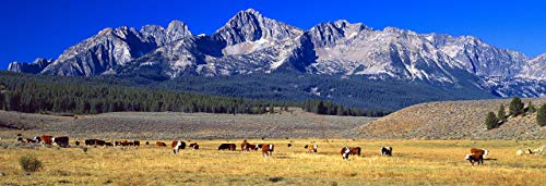 Idaho Signed - Cattle Grazing, 12x36 inch fine art print, Sawtooth Mountains, Idaho, panoramic print landscape photo nature photography wall art home office decor, signed by the artist.