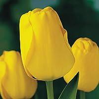 20 Bulbos de Tulipàn AMARILLO (GOLDEN APELDOORN)