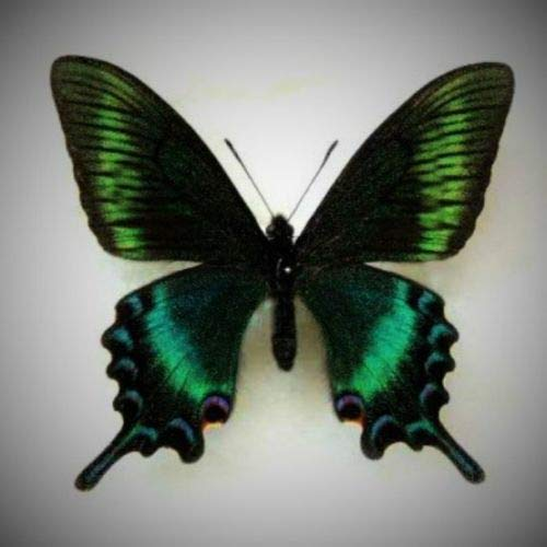 Lot of 10 Alpine Black Swallowtail Papilio maackii maackii Male Spring Folded Fast from USA