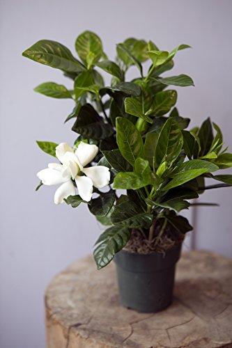 KaBloom Gardenia Bonsai Tree In A 4 Inch Grow Pot   Indoor U0026amp; Outdoor