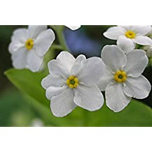 Alpine Forget Me Not White Seeds (Myosotis alpestris) Biennial Flowers