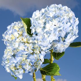 blue-hydrangea-flower-hydrangea-blue-10-flowers
