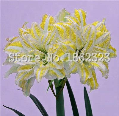 WildyMountain 100 pcs Bonsai Bule Hippeastrum Flower Perennial Indoor Bulbs s for Decor Garden Home (not Potted Blooming Amaryllis