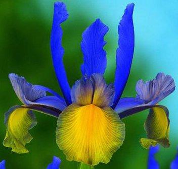 (10) Spectacular Flowering Perennials, Miss Saigon Dutch Iris Bulbs, Plants, Flowers