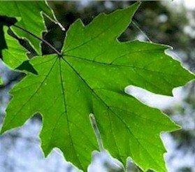Amazoncom Acer Macrophyllum Oregon Maple Big Leaf Maple Seeds