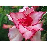 Wüstenrose (Adenium obesum) 5 Samen Pink Heart