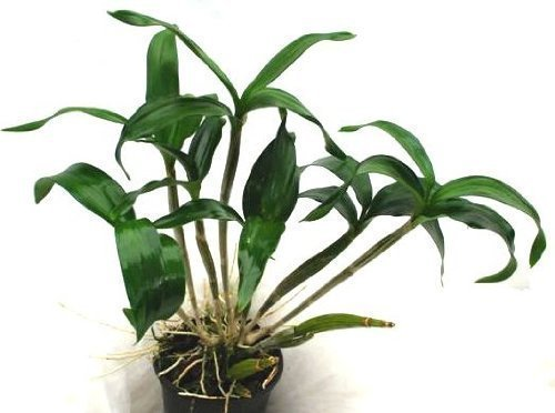 1 blühfähige Orchidee der Sorte: Dendrobium Roy Tokunaga, 13cm Topf