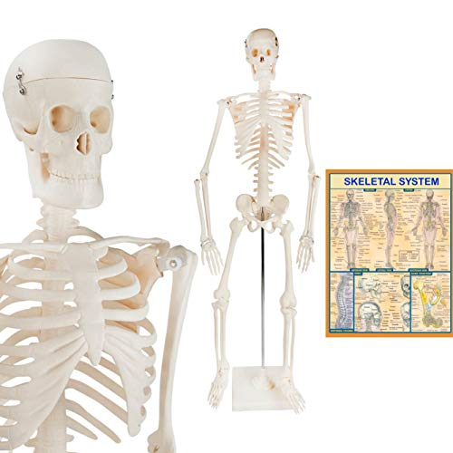 Scientific Human Skeleton Model - Human Body Model with Accurate Proportions & Details - ½ Life-Size Skeleton Model + Metal Stand + Bonus Human Anatomy Poster, 33.5 in. (All The Bones In The Body Labeled)