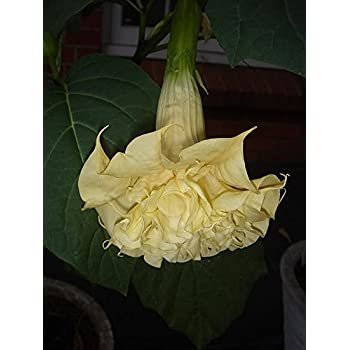 angels trumpet Datura golden queen frilled double 10 seeds