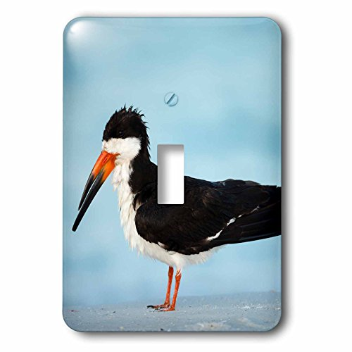 3dRose Danita Delimont - Bird - Black Skimmer resting along shore, Gulf of Mexico, Florida - Light Switch Covers - single toggle switch - Shores Outlet Gulf