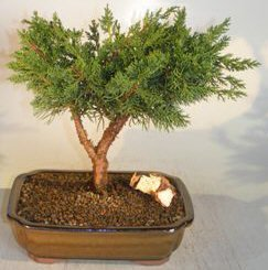 Bonsai Boy's Shimpaku Bonsai Tree - Large shimpaku itoigawa