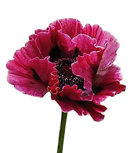 (100 Rose Red Oriental Poppy Seeds - Perennial)