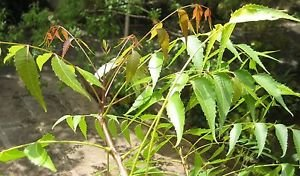 Neem Plant - 3