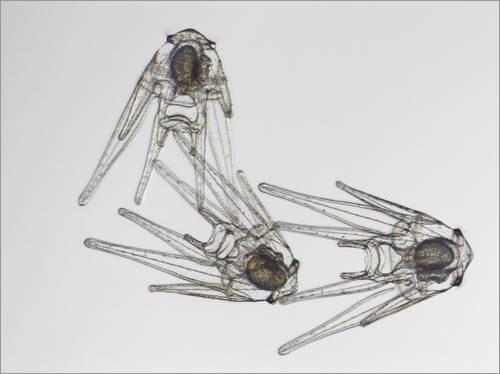 Poster 90 x 70 cm: Seeigel-Larven unterm Mikroskop von David Liittschwager / National Geographic - hochwertiger Kunstdruck, neues Kunstposter
