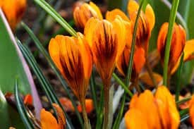 "Crocus Bulbs "" (100 Bulbs) Orange Monarch.Now Shipping !"